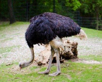 Estômago de avestruz