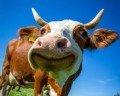 A vaca foi pro brejo
