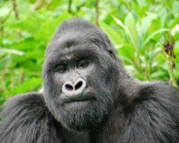 Harambe, o gorila